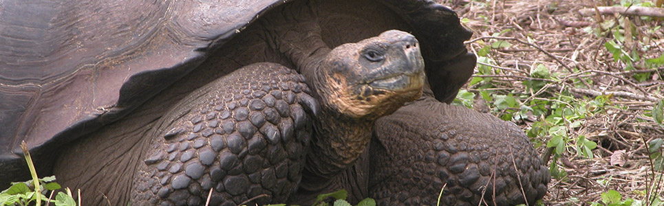 Alleged Extinct Tortoise Specie Rediscovered In Galapagos