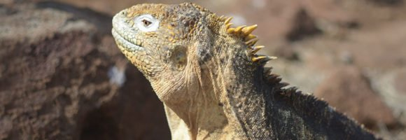 Everything about Land Iguanas