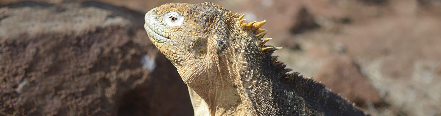 Land iguanas | Galapagos islands | South America Travel