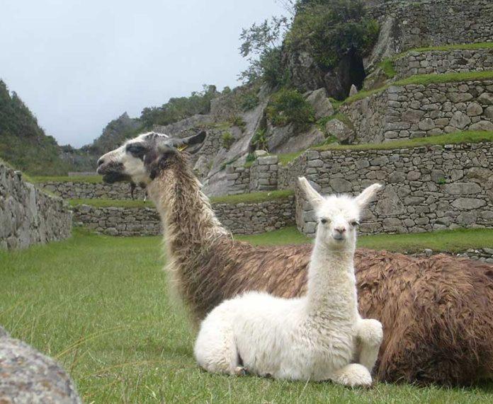 Machu Pichu Llamas | Peru