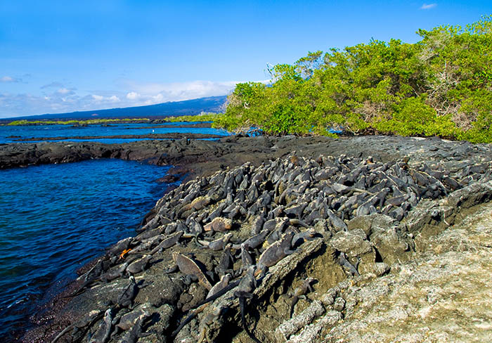 Marine iguanas Galapagos islands