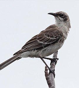 Galapagos Mockingbirds