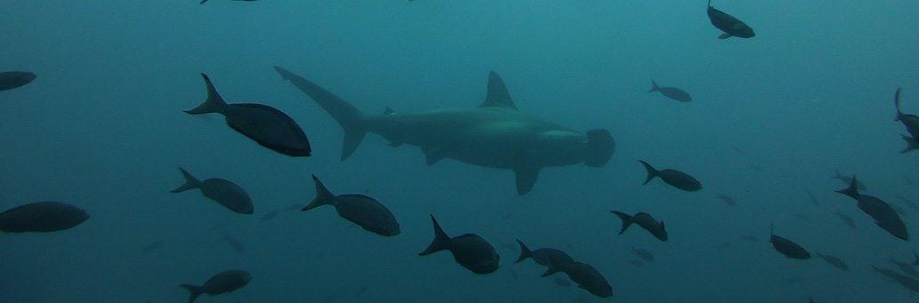 New Hammerhead Shark Breeding Area Found