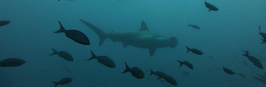 New Hammerhead Shark Breeding Area Found | Galapagos Islands | South America travel