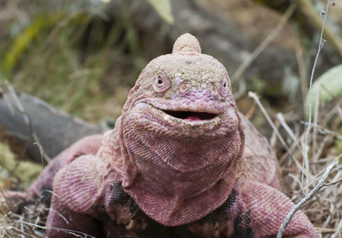 Pink iguana Galapagos
