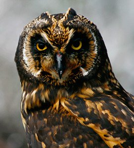 The Short-eared owl