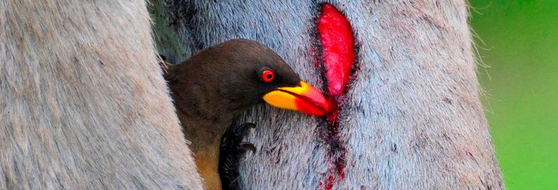 The Galapagos Vampire Finch | Galapagos Islands | South America travel