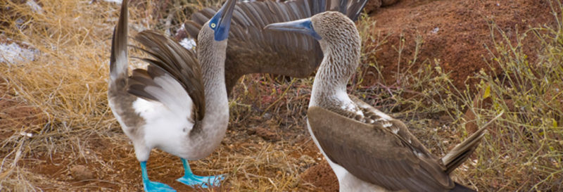 The Galapagos Blue Footed Boobies Are Under Threat