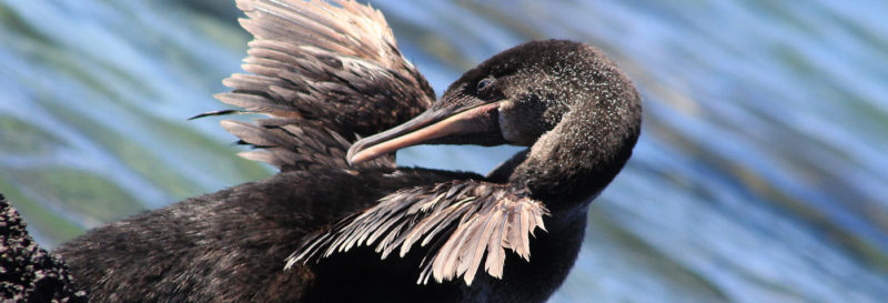 Why Do Not Cormorants Fly In The Galapagos