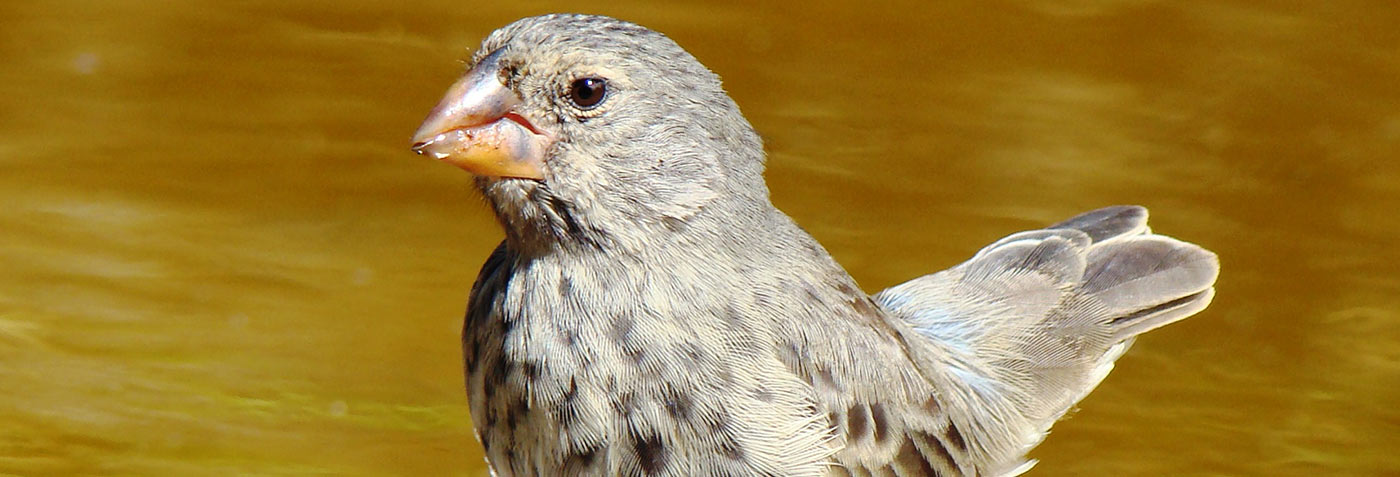 How The Famous Finches Genetically Evolved