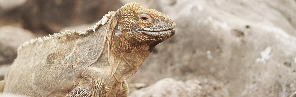 After 200 years the land iguanas are back to Santiago Island