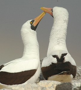 Masked or Nazca Boobies