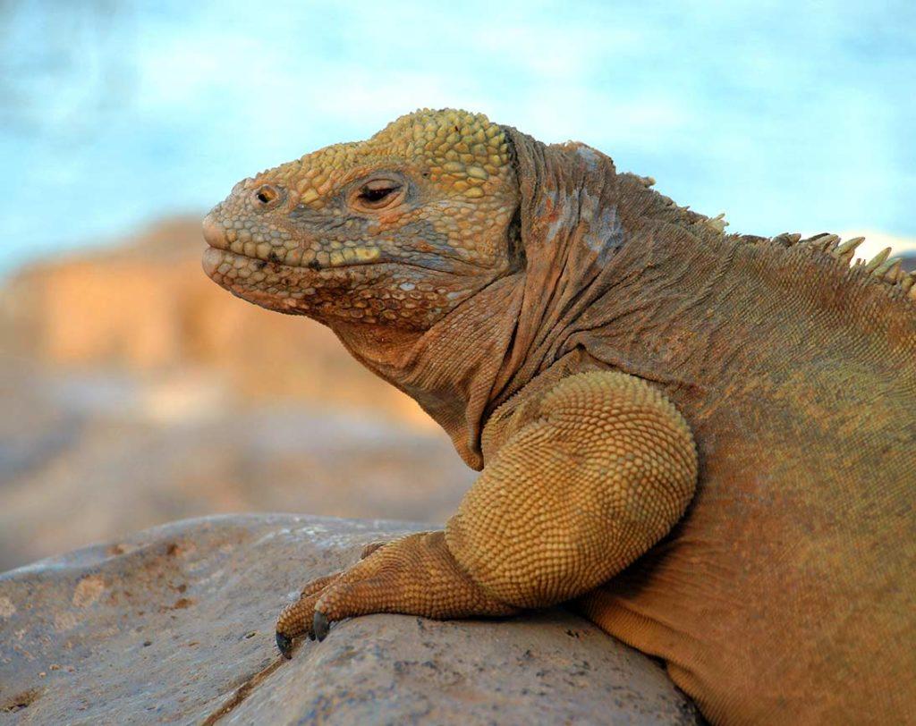 Land Iguana | Galapagos | Galapagos Islands