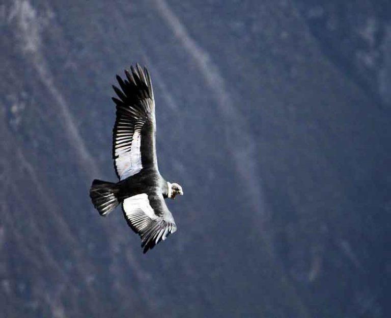 Witness the Flight of the Condors | Peru