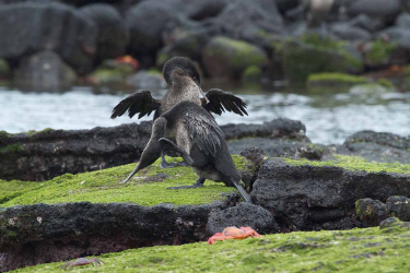 Flightless cormorant | Galapagos | Galapagos Islands