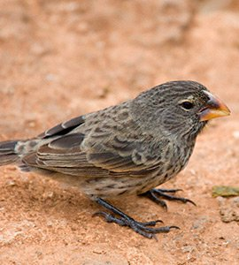 Medium ground finch