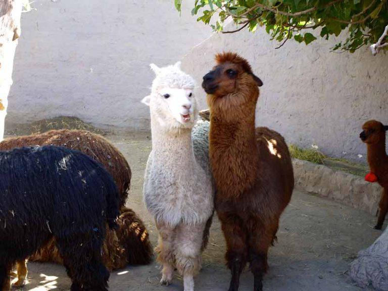 Visit Mundo Alpaca | Peru