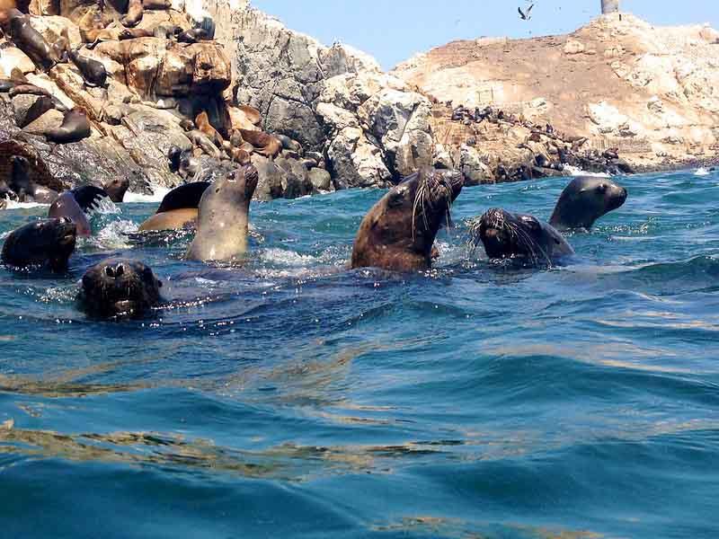 Swim with Sea Lions at Palomino Island   Peru