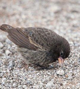 Sharp-beaked finch