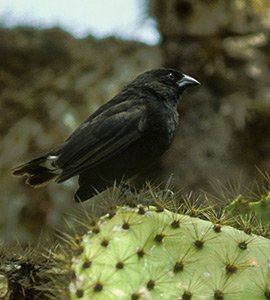 Small cactus finch