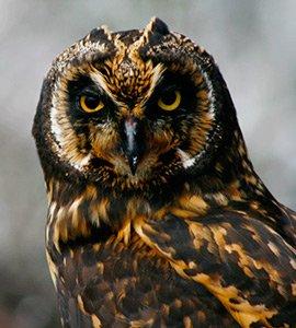 The Short-eared owl