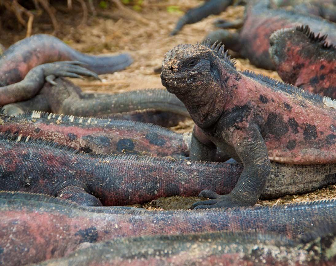 Iguanas I Galapagos