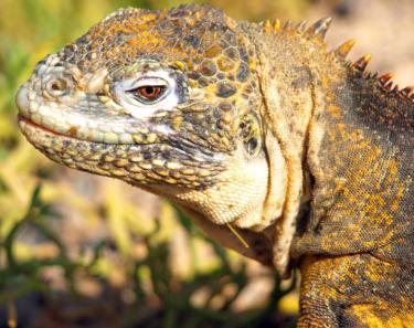 Land Iguana | Galapagos