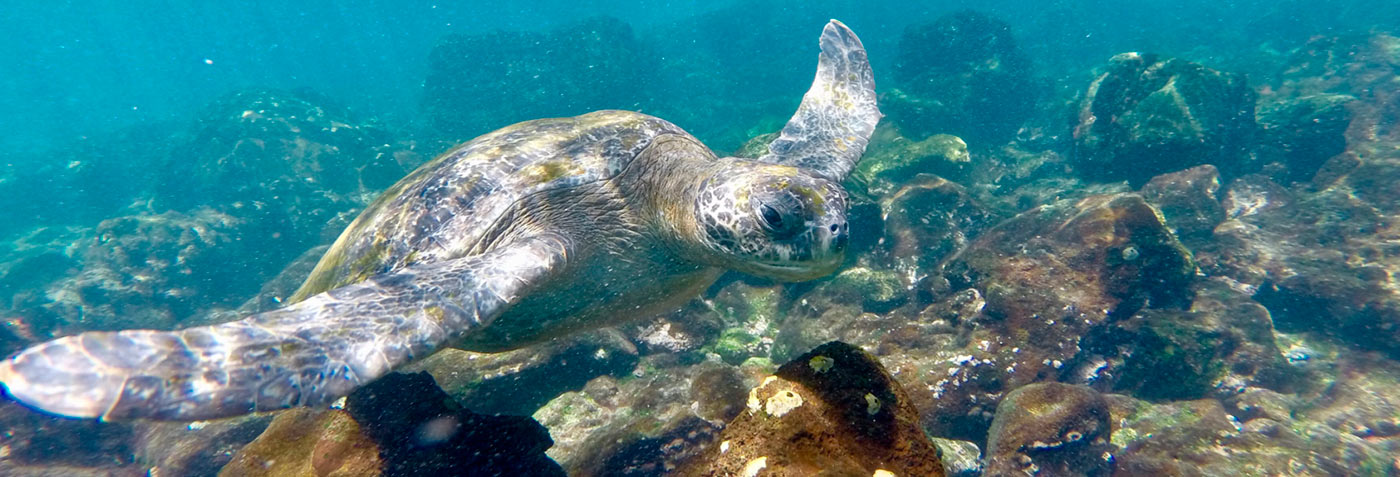 Snorkelling with sea turtles and Galapagos tortoise | Galapagos Islands | South America travel