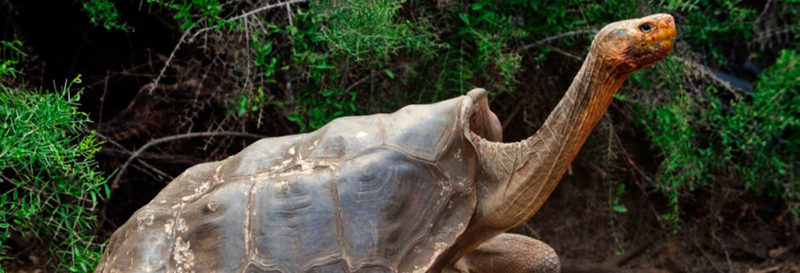 Diego The Tortoise Of Galapagos Has Over 100 Offspring