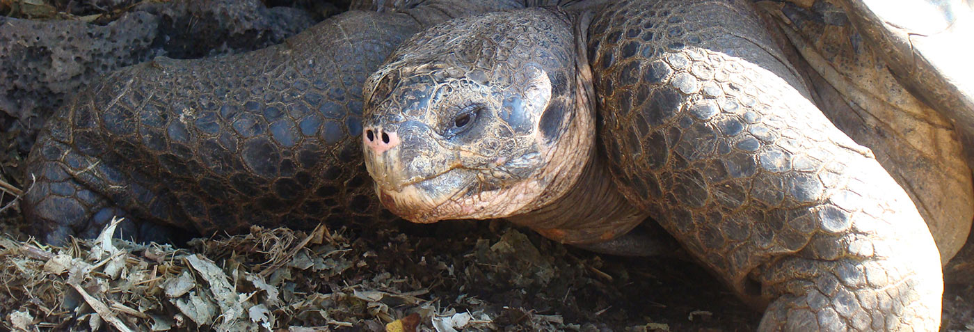 See Endemic Tortoise Sub Species In The Galapagos Islands