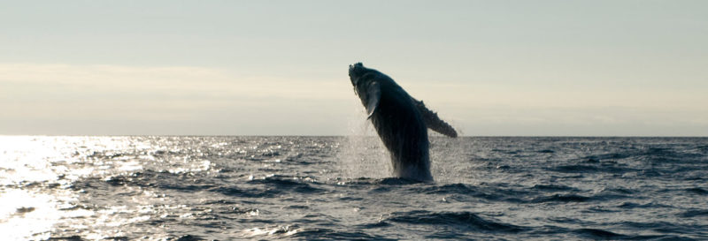 Best 4 Places to See Whales in Ecuador
