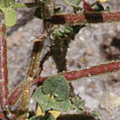 Indigofera colutea (Burm. f.) Merr.