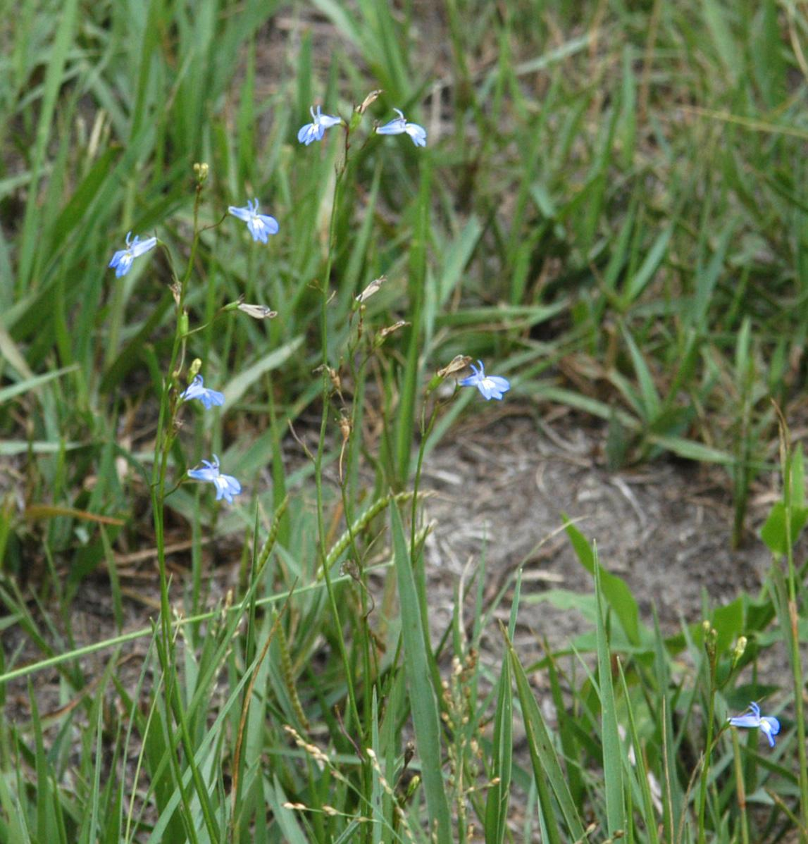 Lobelia Erinus L Plants Of The World Online Kew Science