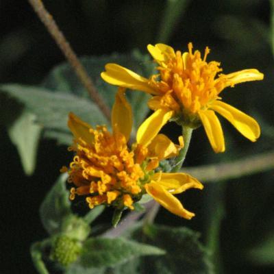 Melanthera triternata (Klatt..) Wild