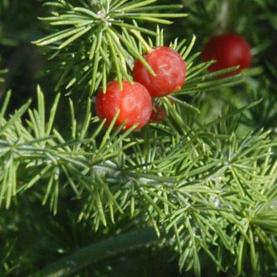 Asparagus africanus Lam.