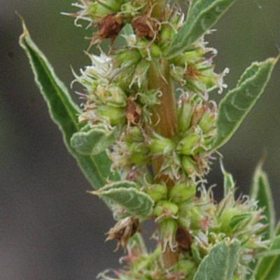 Amaranthus praetermissus Brenan