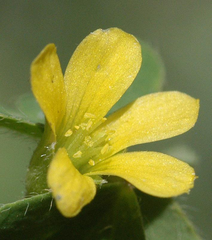 Oxalis Corniculata L Plants Of The World Online Kew Science