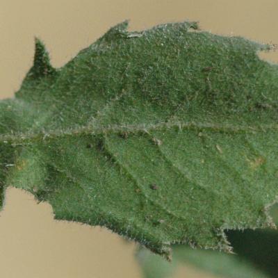 Pseudoconyza viscosa (Mill.) D'Arcy