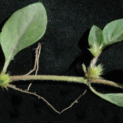Alternanthera pungens Kunth