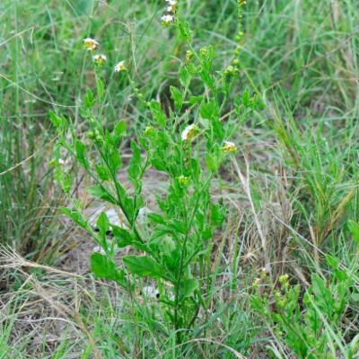 Heliotropium ciliatum Kaplan