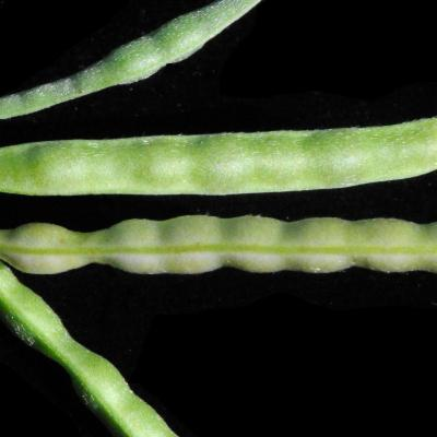 Vigna luteola (Jacq.) Benth.