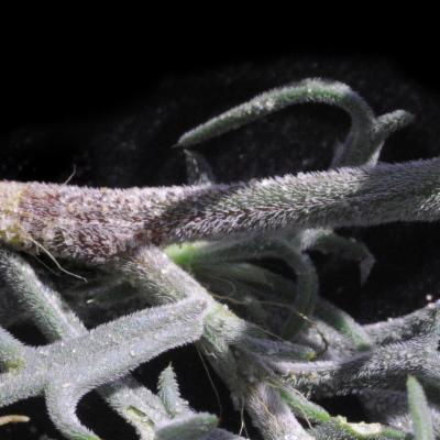 Oxygonum alatum Burch.
