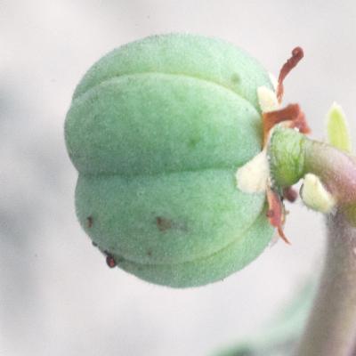 Jatropha sp.