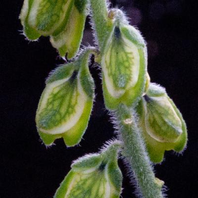 Polygalaceae