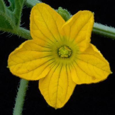 Cucumis africanus L.f.
