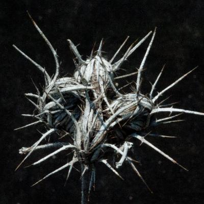 Blepharis leendertziae Oberm.