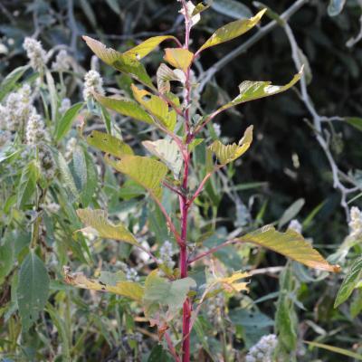 Amaranthus hybridus L.