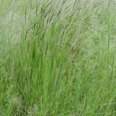 Heteropogon contortus (L.) Roem. & Schult.