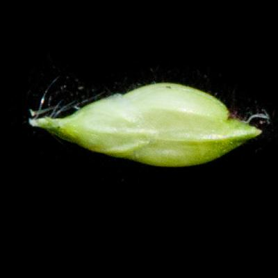 Brachiaria sp.