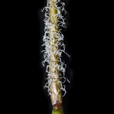 Eleocharis dulcis (Burm.f.) Hensch.